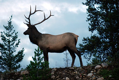 Canadian Rockies - Jasper (HBarrison) Tags: jasper canadianrockies wildlife elk sheep glaciers miligne alabasca harveybarrison travel travels worldtravel hbarrison alberta cans2s athabasca canada