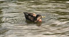Going for a spin !!!! (Blossom's Mom.(Sheila Hess)) Tags: bird duck waterbird september naturereserve 2008 sheepwash sandwell