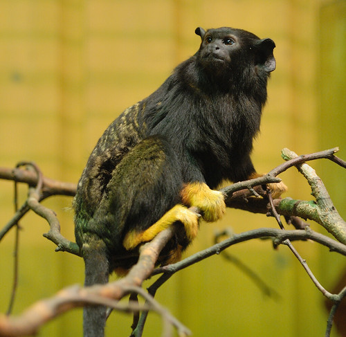 asian animals of  golden handed tamarin monkeys