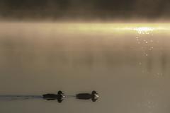 Glitter (Riku N) Tags: morning light sea sky sun mist reflection water birds fog glitter suomi finland dawn helsinki vanhankaupunginlahti ducks calm meri vesi mallards luonto arabianranta lammassaari