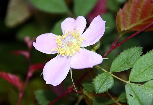 Virginia Wild Rose