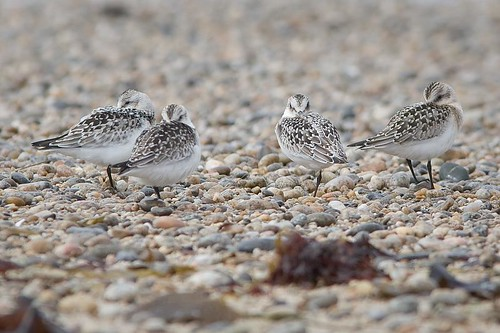 Sanderlings by you.