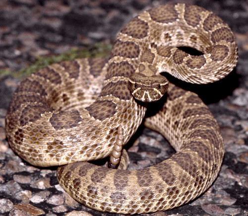 Prairie Rattlesnake, north Texas - a photo on Flickriver