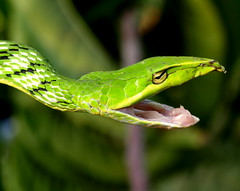 The Green Vine snake (kamalnv / Ophiographer) Tags: india green snake vine olympus hyderabad fosc nonvenomous e510 greenvinesnake friendsofsnakeclub