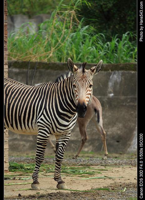 哈特曼山斑馬_Hartmann's Mountain Zebra_01