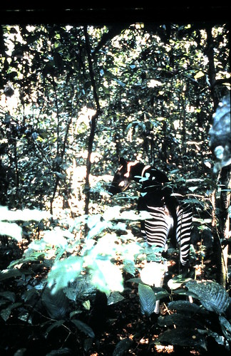 okapi back view in the forest 1990