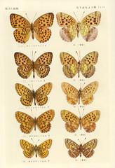 papillon 37