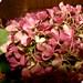 Pink-Hydrangea-3