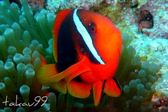 Tomato Clownfish at Kerama Island of Okinawa, Japan