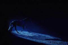 Dark Dreams (Hajari-stock*) Tags: show blue horse dark french grey amazing mare belfast spotlight tricks pony northernireland act trot somersault whisperer odysseyarena jeanfrancoispignon belfastinternationalhorseshow