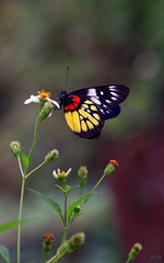 Beauty (Thuvm) Tags: flowers butterfly interesting vietnam explore hanoi 401 naturesfinest hanoicorner anawesomeshot colourartaward damniwishidtakenthat