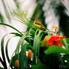 Sunbird 2 (Roy G.V.) Tags: flower green bird nature birds dof bokeh wildlife aves animalplanet sunbird birdwatcher nectarinia hbw pinoykodakero ehbd