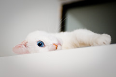 eye spy (lulu.photo) Tags: california cat whitecat luluphoto bestofcats d700 misterpeaches