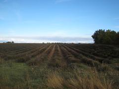 plantations de lavande