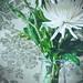 ~Chrysanthemum by *ojoyous1*
