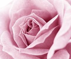 En el corazón (_Zahira_) Tags: pink flower macro rose lafotodelasemana flor rosa olympus 100v10f e500 uro 100vistas interestingness19 i500 35mmmacro p1f1 ltytrx5 ltytr2 ltytr1 ltytr3