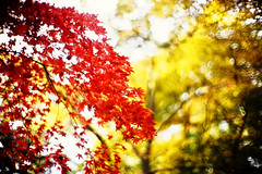 after the banquet (moaan) Tags: life leica november autumn color 50mm maple dof bokeh momiji japanesemaple glowing mp blaze 2008 tinted mapleleaves autumnalleaves rvp f095 fujivelvia fujivelvia100 tinged rvp100 leicamp glowingcolors canonf095 fujirvp inlife canon50mmf095 bokehwhores blazeofcolors gettyimagesjapanq1 gettyimagesjapanq2