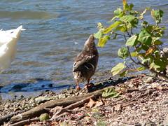 P1000024 (MeRyan) Tags: public birds rivers