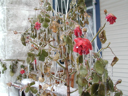 icestorm12-19-08rose