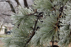 Shiney and Piney (The Wiccan) Tags: trees winter nature frozen natural wintersolstice icestorm yule soe bigmomma blueribbonwinner mywinners pfogold