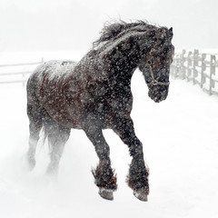 frolicsome (Ben Kimball) Tags: winter horse snow animal happy jump play frolic joy explore solstice sake leap playful equestrian bouncy equine equus passionate exuberant timing friesian spirited galope 3000v120f karmapotd creativecomments ldrpcdec09