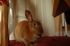 """Wow, even I can't hear the Silent Wave Motor on that lens!"" (Carly & Art) Tags: brown cute rabbit d50 nikon soft 1855 nikkor rex 35 derby afs houserabbit minirex bunnt 1855mmf3556gvr"
