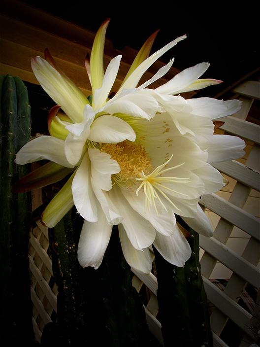 Summer Cacti Flowers 3138842693_67eba8d650_o