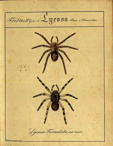 Lycosa Tarantula