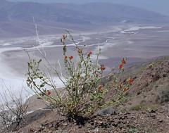 Death Valley NP Dantes 1362a (DB's travels) Tags: california desert badwater deathvalleynationalpark dantesview dvnp