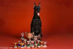 Devvu with awards (Devilstar) Tags: red dog chien studio cups hund awards biene beke dobermann koer hainide ideestuudio