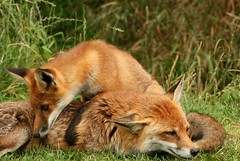 Red Foxes (Janet-Hedger) Tags: redfox janethedger