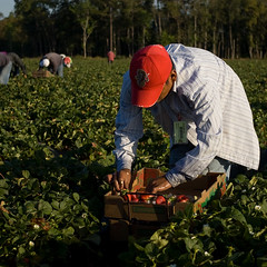 Strawberry Worker (GiggleManiac) Tags: workers factory strawberries handpicking postharvest