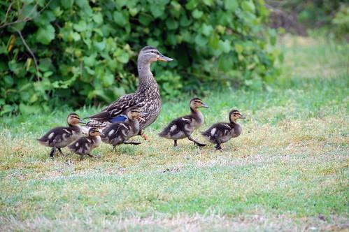 quack, quack, waddle, waddle