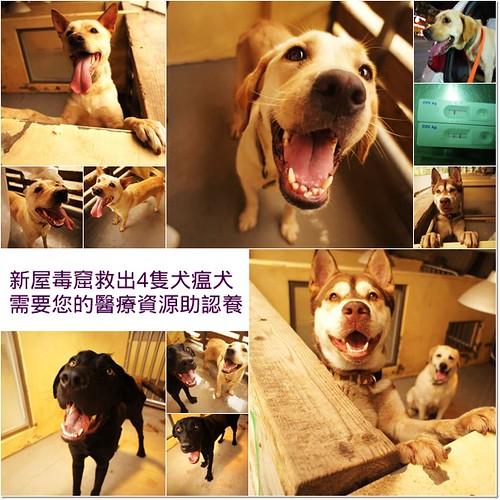 「支援助認養」新屋收容所安樂前救出四隻犬瘟犬,需要您的醫療資源助認養,謝謝您,20110512