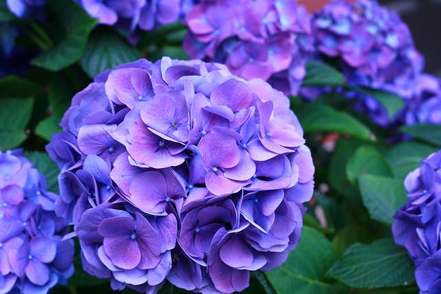 My gorgeous Hydrangea
