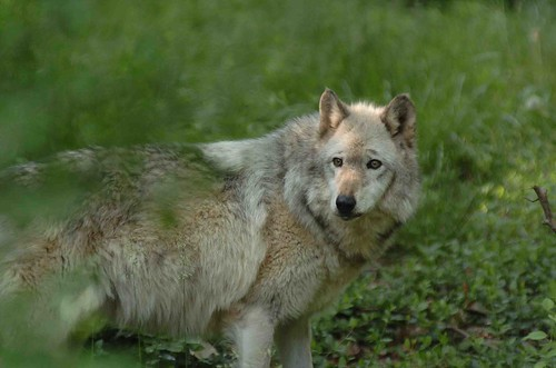 Female Wolf.