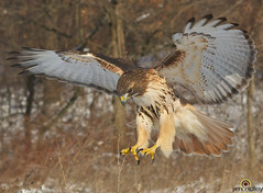 Radar On!! (JRIDLEY1) Tags: winter dinner nikon bravo raptor redtailedhawk buteojamaicensis anawesomeshot jridley1 jimridley httpjimridleyzenfoliocom mygearandme photocontesttnc11 tnc11 photocontesttnc12