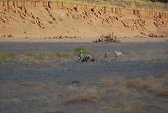 saluki hunt 14 (shine_on) Tags: rabbit dogs car truck puppy desert offroad 4x4 dunes hunting saudi arabia toyota suzuki jeddah suv fj landcruiser saudiarabia cruiser hunt saluki البر fj40 fjcruiser السعودية سعودي صحراء bahra تويوتا طعس كروزر feshfesh لاندكروزر الجيب براري