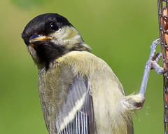 Great Tit - Closeup