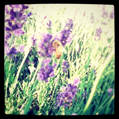 Bee among lavender stalks