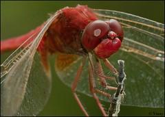 dragonfly portrait (Vinay Narayana Swamy) Tags: dragonflies sony sigma alpha coorg skimmer a700 crocothemisservilia sonyalpha ruddymarshskimmer alpha700 sonya700 sonyalpha700 maleruddymarshskimmer greenvalleyresort sigma180mmmacrolens