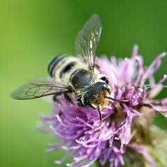 Leaf-cutting bee on Canada thistle (Dean Gulstad) Tags: