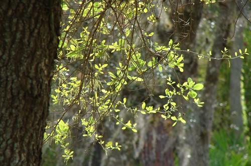 New growth on oak tree