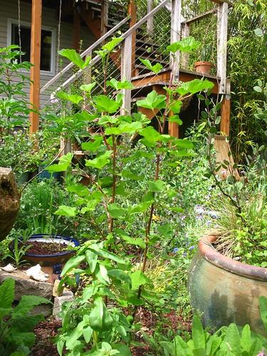 Ribes malvaceum