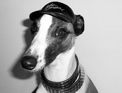 Zero rocks! (Dada Mar) Tags: dog pet greyhound white hat leather nose sweet d whippet explore castro harleydavidson dada funnydog brindle zero dressed bung rockdog dresseddog goldstaraward zeroisaleatherguy