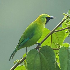 Blue-winged Leafbird (male) - Chloropsis cochinchinensis (Michael Gillam) Tags: leafbird bluewingedleafbird chloropsiscochinchinensis platinumphoto fbwadded avianexcellence