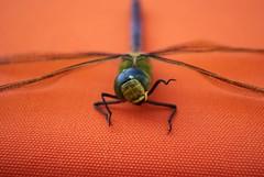 Λιβελούλα / Dragonfly (Lefteris Zopidis) Tags: macro insect searchthebest dragonfly hellas insects greece thessaloniki macrophoto blueribbonwinner lefteris ελλάδα mywinners θεσσαλονίκη anawesomeshot diamondclassphotographer flickrdiamond macrophotosnolimits ysplix zopidis zopidislefteris macromarvels leyteris ελλάσ ζωπίδησ ελευθέριοσ λευτέρησ ζωπίδησλευτέρησ φλίκερσ greekflicker φλίκερ λιβελούλα λεφτέρησ