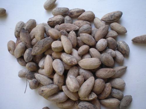 Semilla de neem seeds