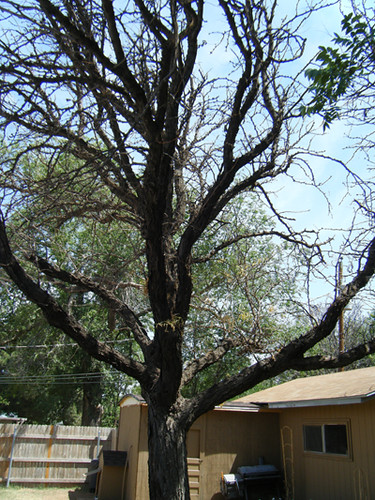 Tree Before Trimming