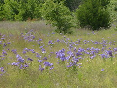 Blue Bells of Burleson (maorlando God kept us 2012 leaning on Him 2013) Tags: travel flowers usa nature texas creation smalltowns burleson blueribbonwinner supershot texasbluebells mywinners abigfave isawyoufirst texasscenes